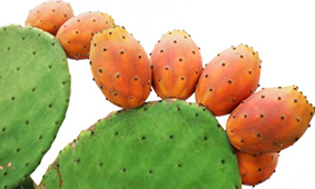 hoodia nopal cactus beneficia la diabetes