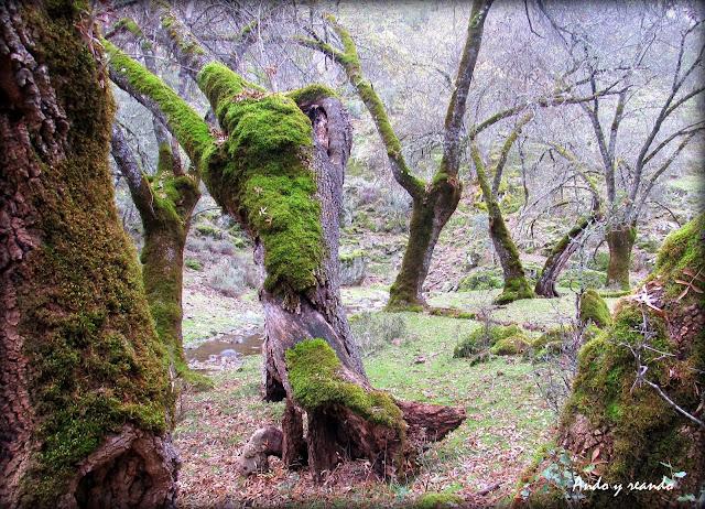 Bosques de cuento. Árboles con musgo