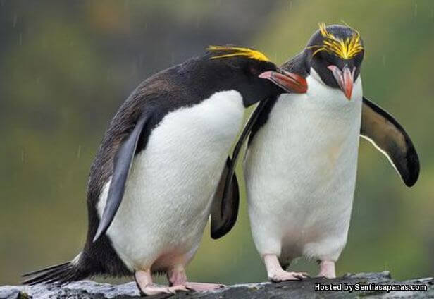Penguin Makaroni (Eudyptes Chrysolophus)
