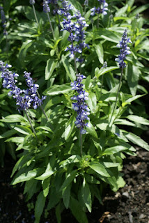 Sauge farineuse - Salvia farinacea
