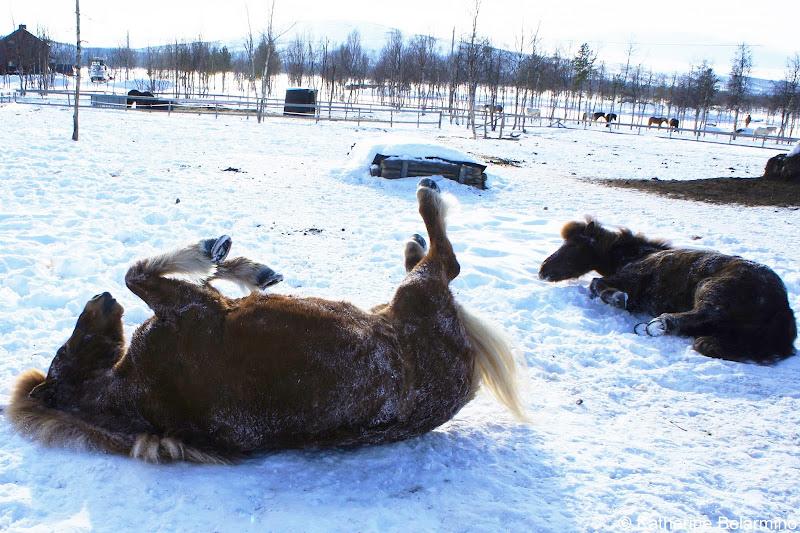 Icelandic Horses Rolling in the Snow Outdoor Winter Activities in Sweden's Lapland