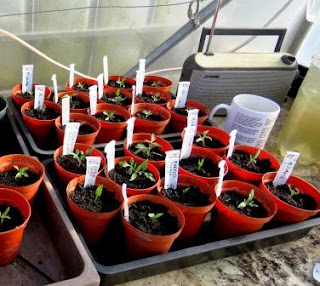 Image: tomato seedlings on the HenSafe Smallholding