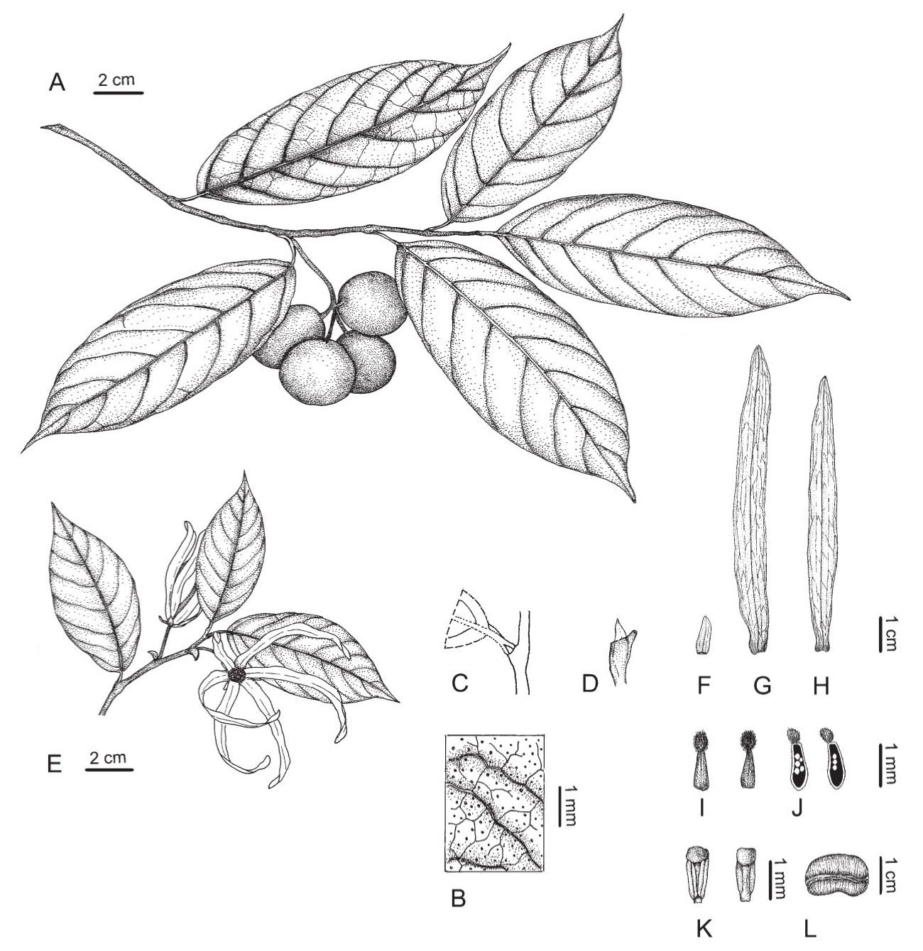 Species New To Science Botany A New Annonaceae