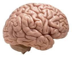 Otak dilindungi oleh tengkorak dan tertutup dalam tempurung kepala yang menjaganya aman dari benturan maupun guncangan
