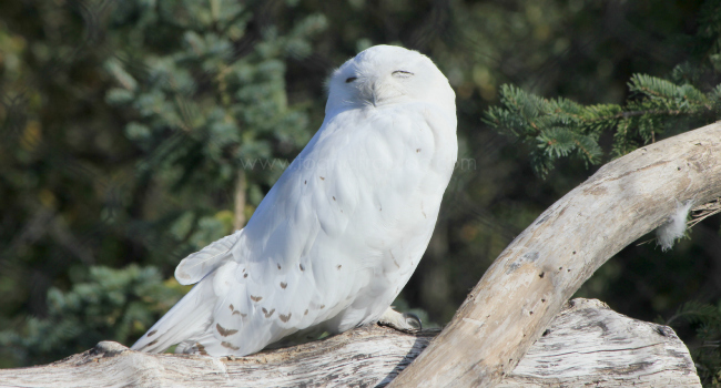 snowy owl on log