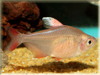 Rosy Tetra Fish Pictures