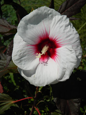 Kopper King hardy Hibiscus at the Toronto Botanical Garden by garden muses-not another Toronto gardening blog