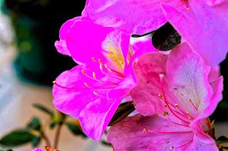 Flor de azalea roja matizada