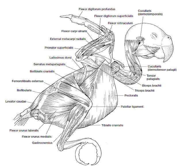 Jenis-Jenis Otot Pada Aves / Sistem Muskularis Pada Aves