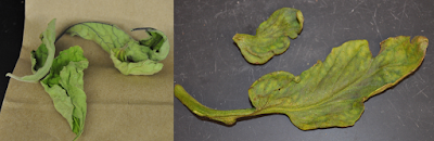 A composite photo of two tomato leaves infected with virus. The leaf on the left is curled and the leaf on the right is yellow and misshaped.