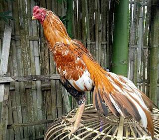 Cara merawat ayam bangkok siap diadu