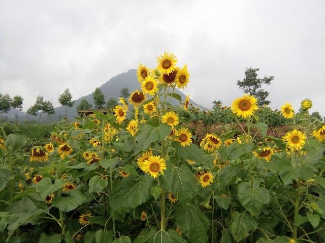 Taman Bunga Matahari Megastar