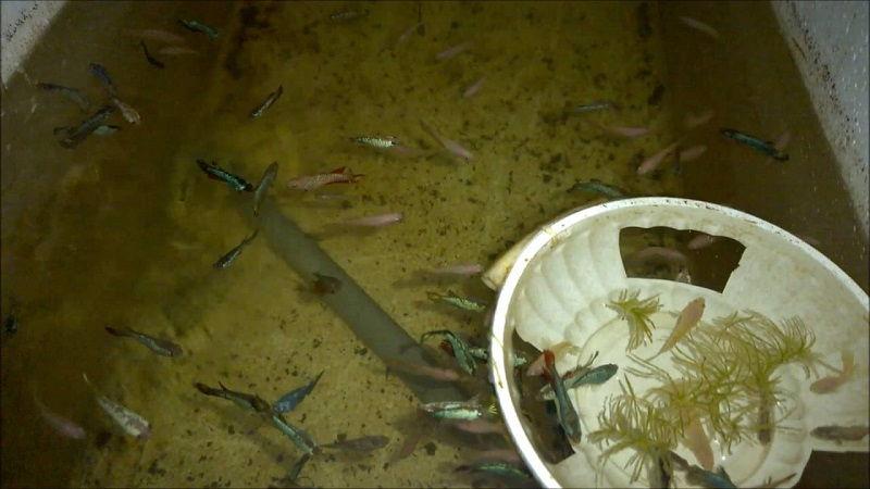 Image Betta Fish Food Amount