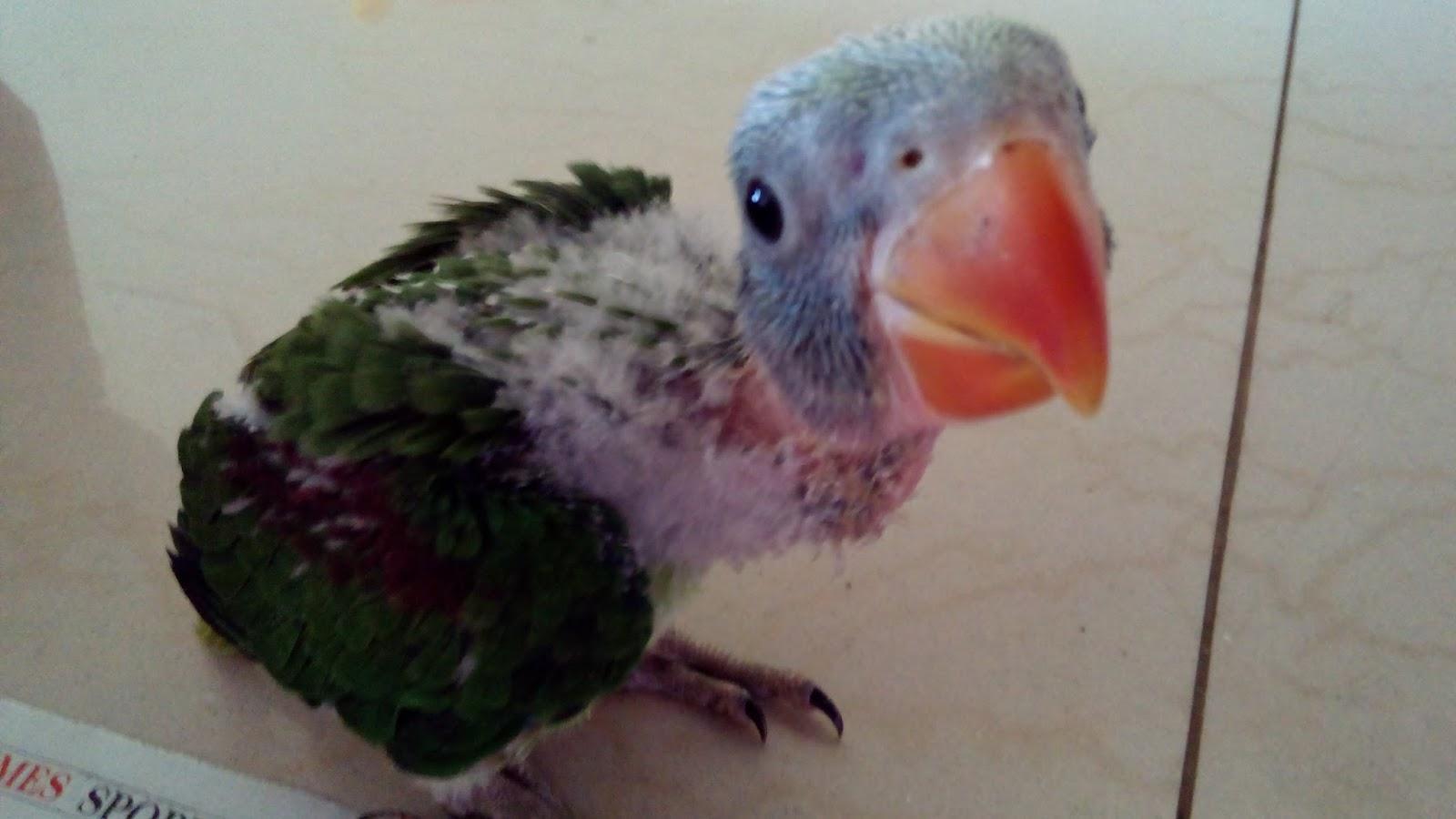 Alexandrine Parrot Baby Food