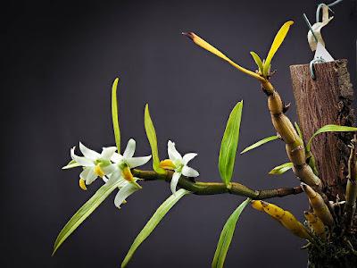 Dendrobium scabrilingue care and culture