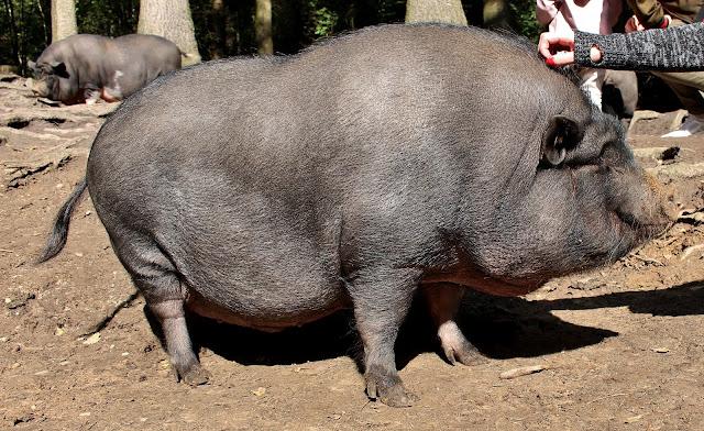 Schweine im Wildpark Schwarze Berge