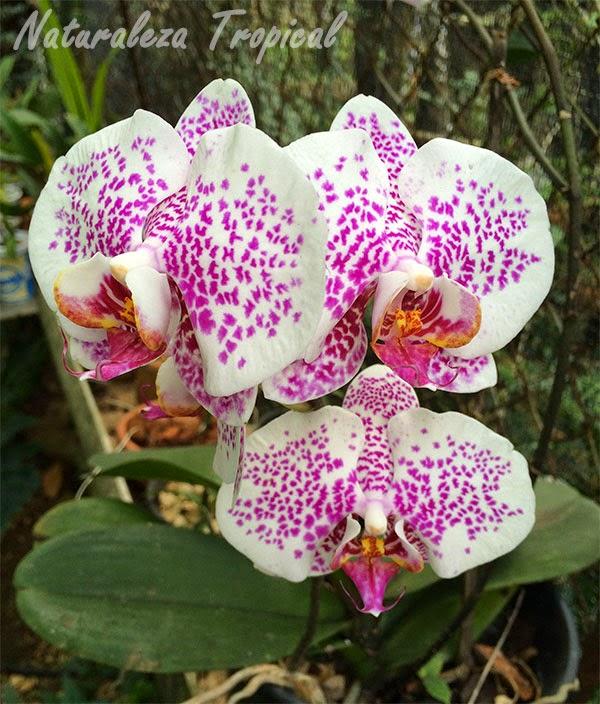Variedad blanca con manchas rosadas de la orquídea Mariposa, género Phalaenopsis