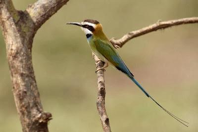 Abejaruco gorgiblanco Merops albicollis