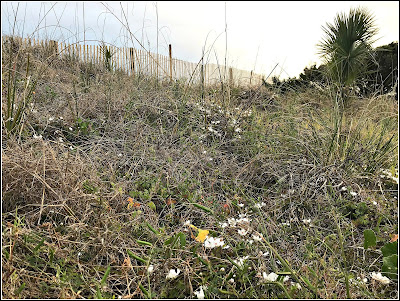 March 20, 2019 Enjoying how the dunes are turning white as wild strawberries are in bloom.