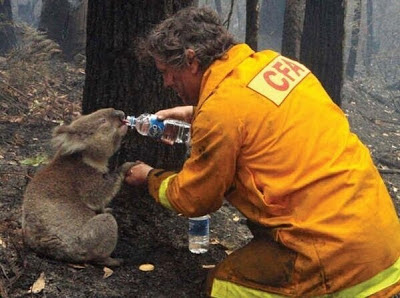 Bombero dando de beber a una cría de Koala durante los incendios