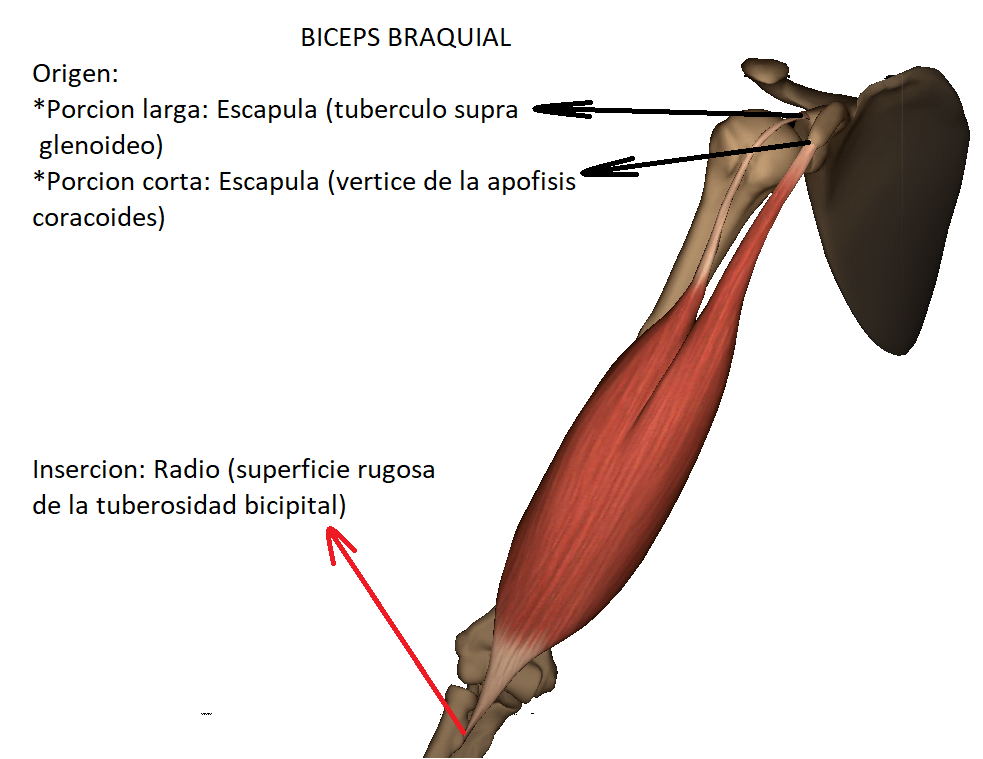 Anatomy full : MUSCULO BICEPS BRAQUIAL