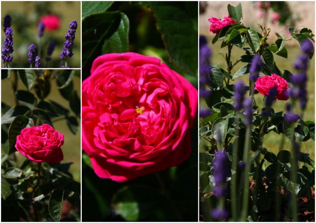 teacup in the garden die alten rosen. Black Bedroom Furniture Sets. Home Design Ideas