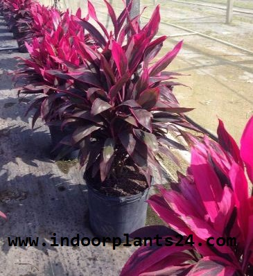 cordyline Fruticosa Plant potted photo