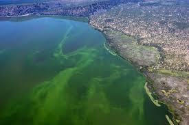 Danau Klamath tempat AFA tumbuh dengan subur