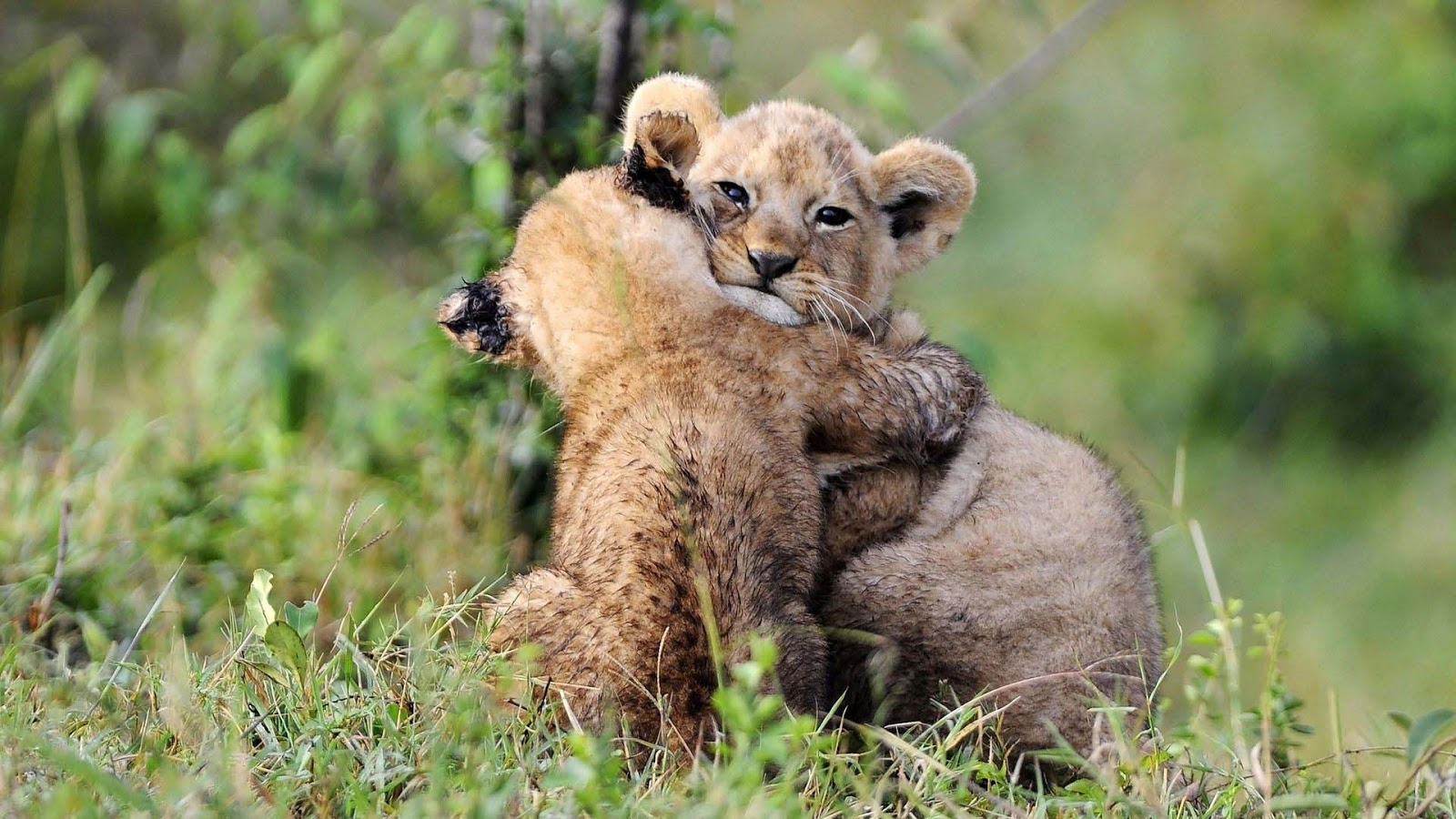 animal-hugging-lion-cubs-wallpepars.jpg