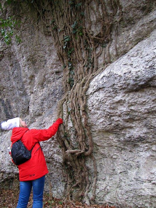 Pędy bluszczu płożące się po skale.