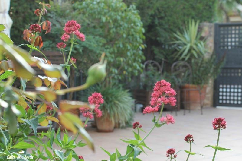 Centranthus ruber (valeriana roja)
