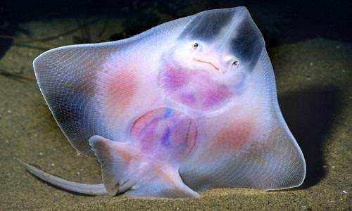 büyük çemçe balığı