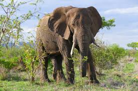 This is an image of elephant says facts about elephant