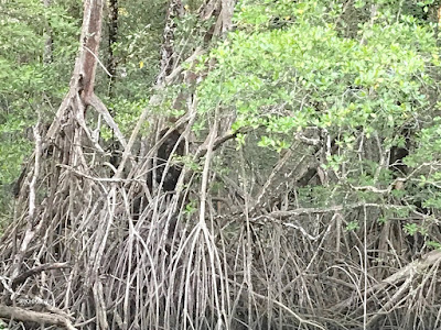 mangrove swamp, Costa Rica