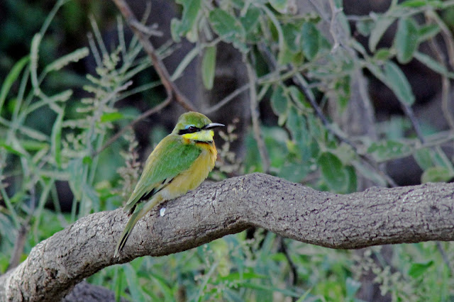 Buy wallart of Little Bee Eater