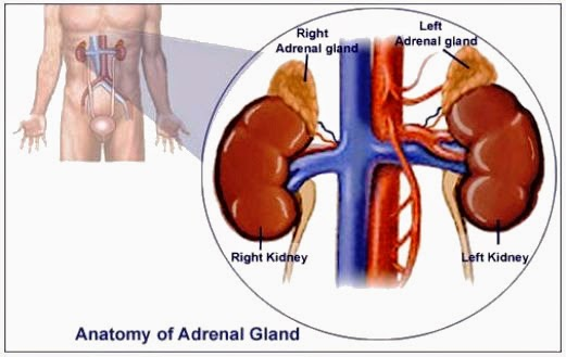 Adrenal Glands Above The Kidneys