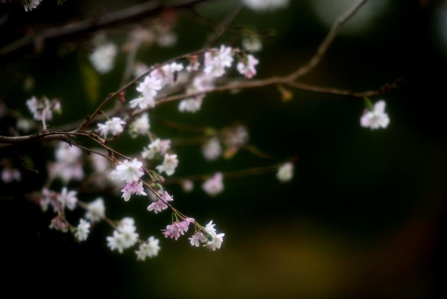 奥卯辰山健民公園の十月桜