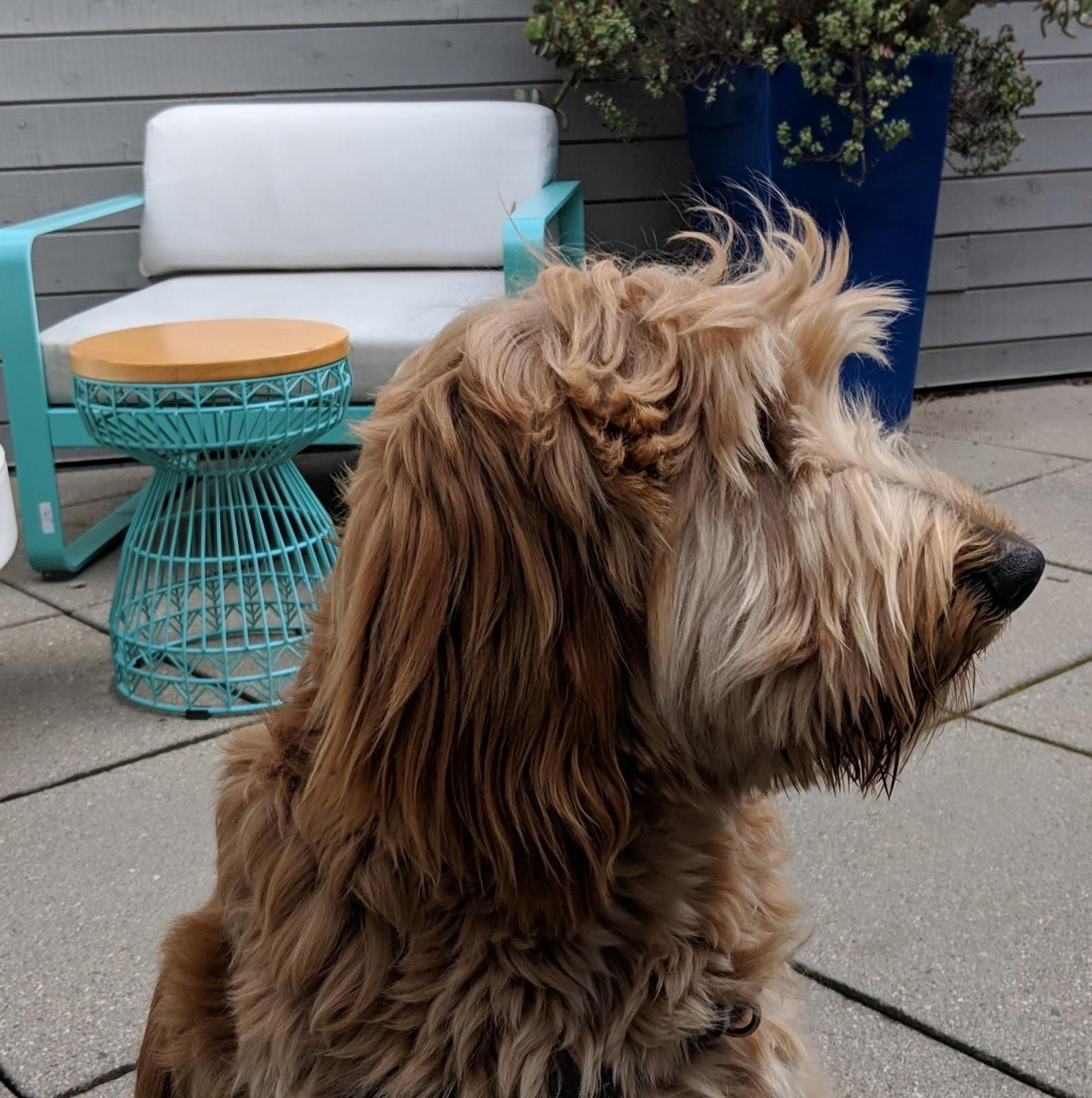 image of a shaggy dog's profile with patio furniture in the background