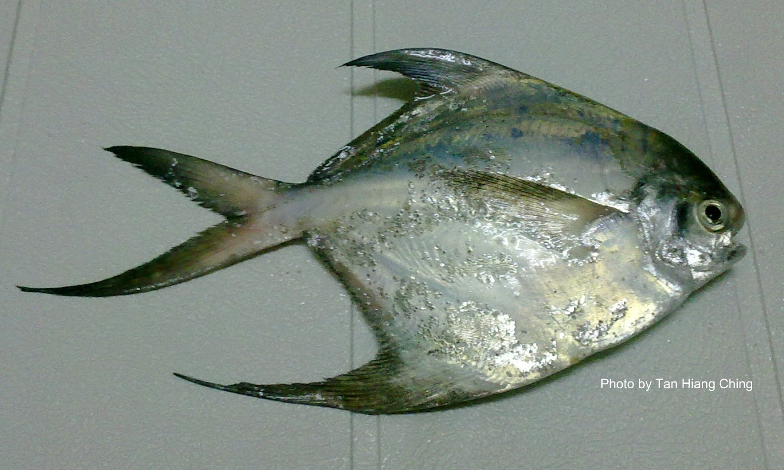 Butterfishes - Talk About Fish