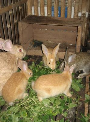 Penyakit kelinci ternak kelinci yang rentang terkena penyakit