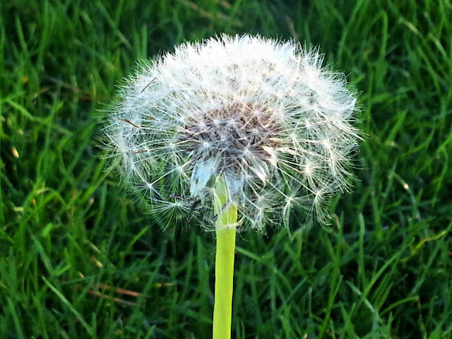 Close up of a dandelion clock showing seed detail