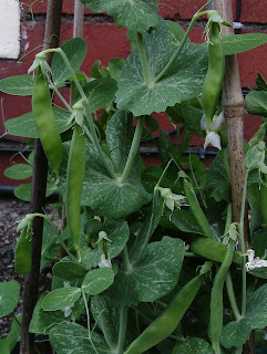 Mangetout peas in container ready to pick