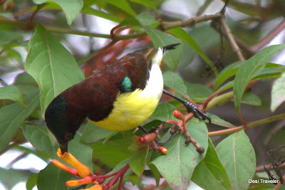 sunbird drinking nectar from flower