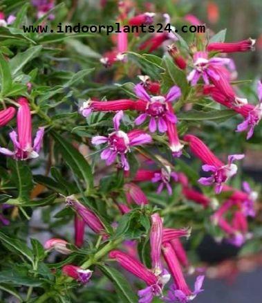 Cuphea Ignea Lythraceae Indor House Plant image