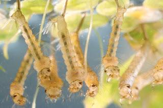 Budidaya Jentik Nyamuk Untuk Pakan Ikan Cupang
