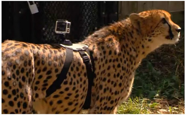 Cincinnati Zoo is back in news though not for shooting any animal this time.  Its officials strapped a GoPro on a cheetah named Savannah and sent it on a sprint.  Cheetahs, fastest land mammals, can achieve an average speed of  60 km/hour. The GoPro for the first time  perhaps conveys the first-hand experience of a cheetah on run.