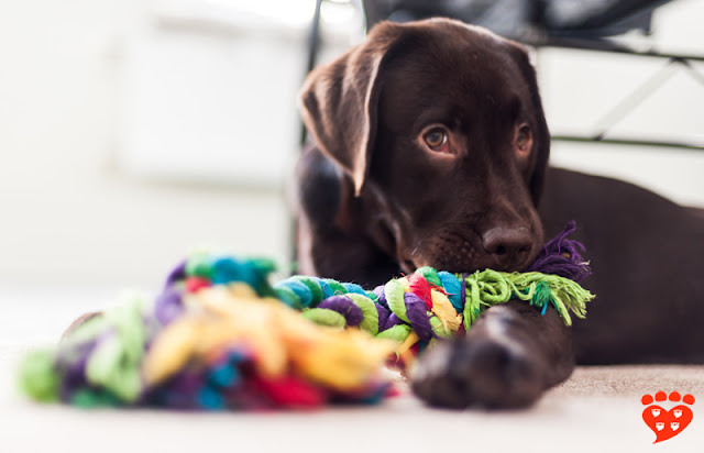 A sleepy brown Labrador puppy plays with a rope
