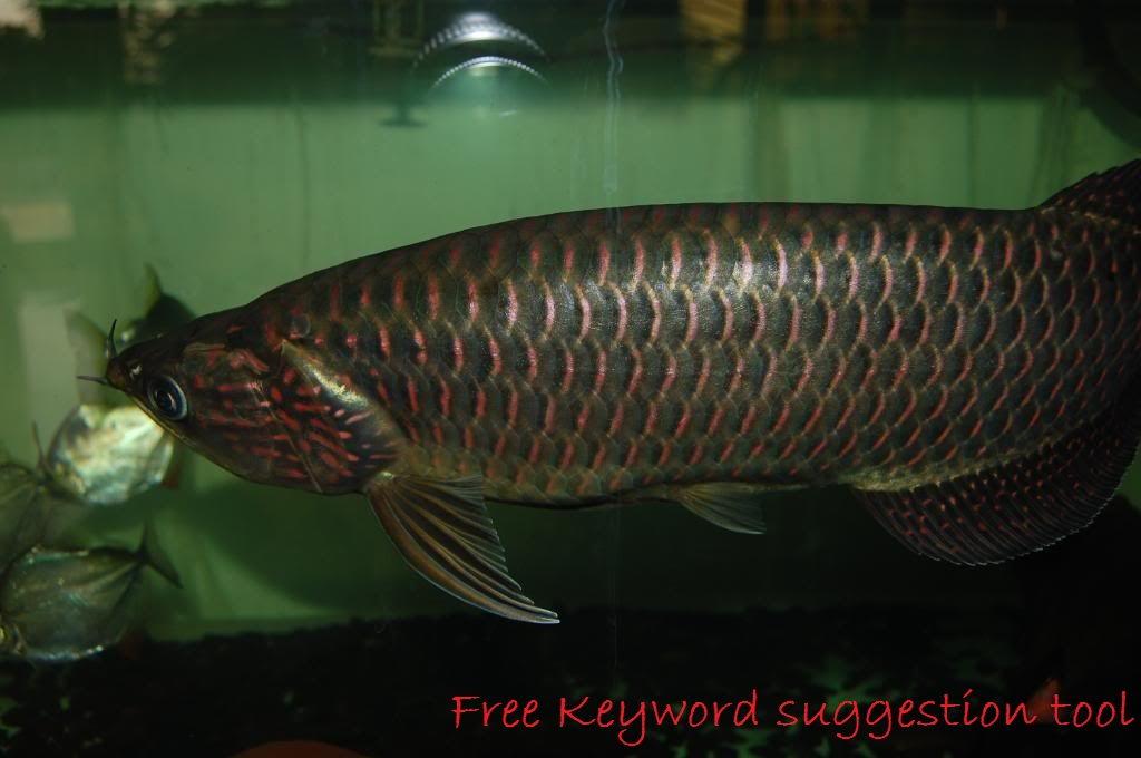 Gambar Dan Foto Kisaran Harga Ikan Arwana Irian, Profil Dan Cara Merawatnya