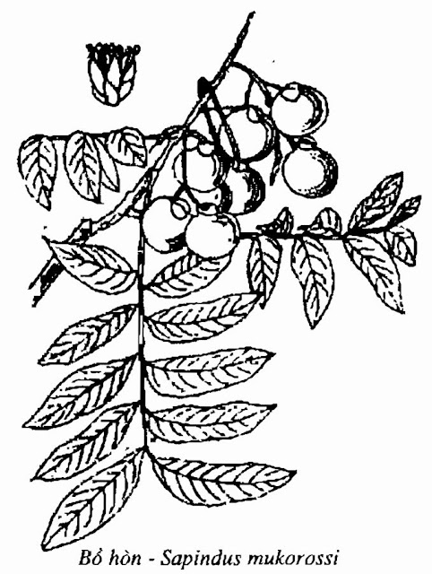 Hình vẽ Cây BỒ HÒN - Sapindus mukorossi - Nguyên liệu làm thuốc Chữa Ho Hen