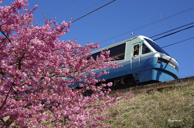 伊豆・河津櫻祭,美麗的櫻花讓許多列車駕駛也不自禁地探出頭來。